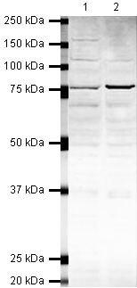 PARN Antibody (PA5-19552) in Western Blot