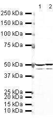 Doublecortin Antibody (PA5-19559) in Western Blot