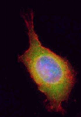 UBC9 Antibody (PA5-19561) in Immunofluorescence