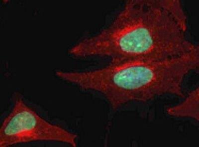 hnRNP L Antibody (PA5-19599)