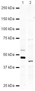 WIF1 Antibody (PA5-19614) in Western Blot
