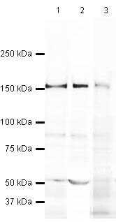 Caspr2 Antibody (PA5-19623) in Western Blot
