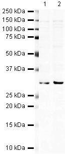 Hex Antibody (PA5-19625)