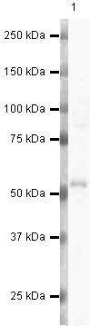 MINA53 Antibody (PA5-19651) in Western Blot