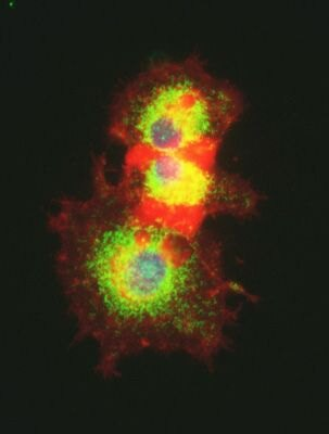 CaMKI gamma Antibody (PA5-19661) in Immunofluorescence