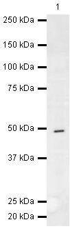 CaMKI gamma Antibody (PA5-19661) in Western Blot