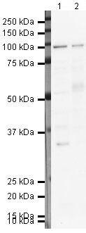 SFPQ Antibody (PA5-19663)
