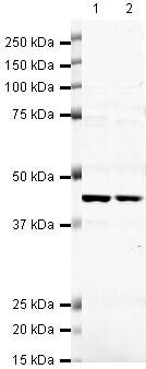 CDK9 Antibody (PA5-19674) in Western Blot