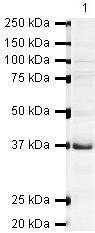 UBE2J1 Antibody (PA5-19675) in Western Blot