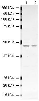 BMP-4 Antibody (PA5-19683)