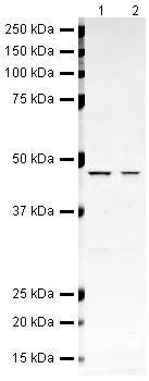 BMP-4 Antibody (PA5-19683) in Western Blot