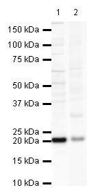 GPX4 Antibody (PA5-19695) in Western Blot