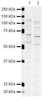 GLAST Antibody (PA5-19709)