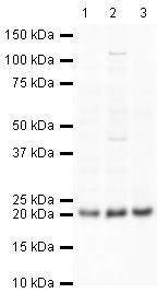 GPX4 Antibody (PA5-19710) in Western Blot