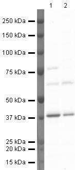 Annexin A2 Antibody (PA5-19711) in Western Blot