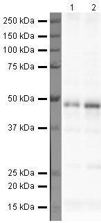 TARDBP Antibody (PA5-19714) in Western Blot