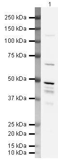 MBNL1 Antibody (PA5-19739) in Western Blot