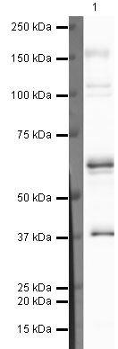 COBRA1 Antibody (PA5-19767)
