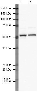 T-bet Antibody (PA5-19773) in Western Blot