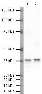 TBP Antibody (PA5-19776) in Western Blot