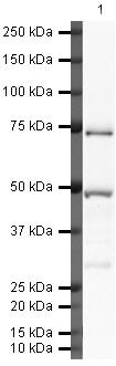 Complement C9 Antibody (PA5-19779)