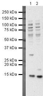 HINT1 Antibody (PA5-19781)