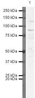 FGFR3 Antibody (PA5-19782) in Western Blot