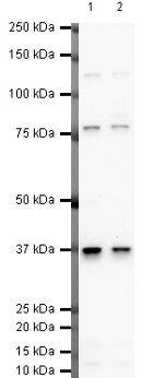 Follistatin Antibody (PA5-19787) in Western Blot