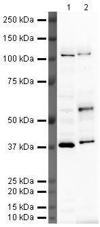 MAFB Antibody (PA5-19805) in Western Blot