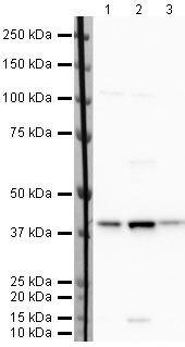 MEP50 Antibody (PA5-19806) in Western Blot