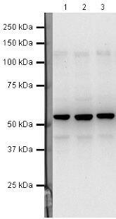 TFPI Antibody (PA5-19809)