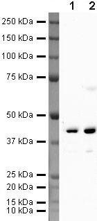 FEN1 Antibody (PA5-19840) in Western Blot