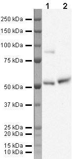 KLF10 Antibody (PA5-19845)