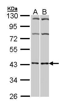 ADORA2A Antibody (PA5-21273) in Western Blot