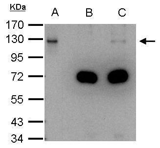 DDB1 Antibody (PA5-21282) in Immunoprecipitation