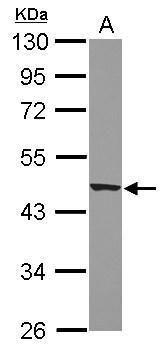 Apelin Receptor Antibody (PA5-21285) in Western Blot