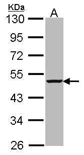 caspase-4 Antibody (PA5-21286)