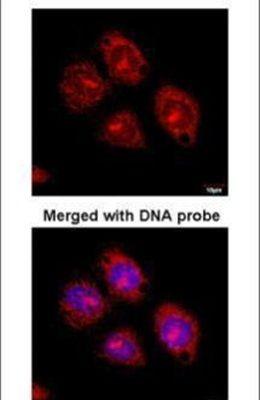 Flotillin 2 Antibody (PA5-21296)