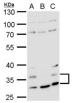 HRH4 Antibody (PA5-21313)