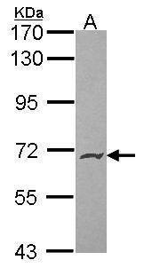 PODXL2 Antibody (PA5-21335)