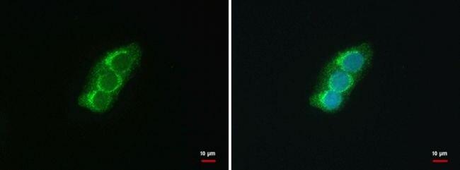 SEC13 Isoform 1 Antibody (PA5-21339) in Immunofluorescence