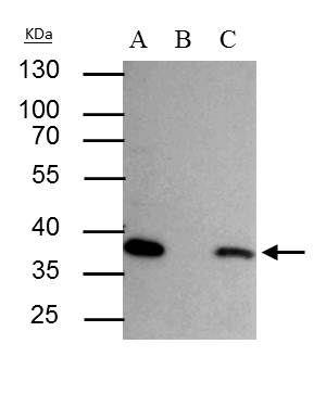 SEC13 Isoform 1 Antibody (PA5-21339) in Immunoprecipitation