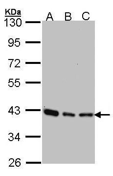 SEC13 Isoform 1 Antibody (PA5-21339) in Western Blot