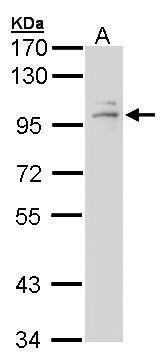 Glucocorticoid Receptor Antibody (PA5-21341) in Western Blot