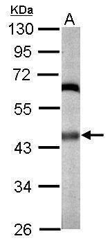 JNK1 Antibody (PA5-21343) in Western Blot