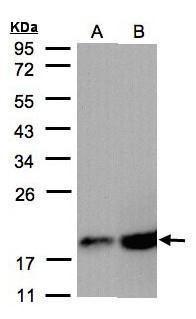 COX4 Antibody (PA5-21359) in Western Blot