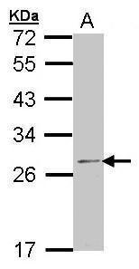 RPL14 Antibody (PA5-21363) in Western Blot
