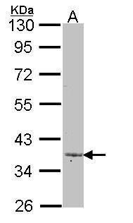 LEFTY2 Antibody (PA5-21367) in Western Blot