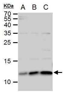 ERH Antibody (PA5-21388) in Western Blot