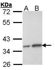 OTUB1 Antibody (PA5-21402) in Western Blot